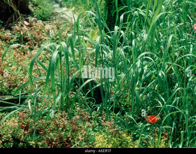 Couch Grass Elymus Repens Stock Photos & Couch Grass Elymus Repens