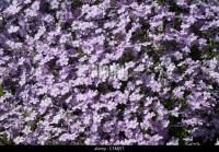 Carpet Phlox - Carpet Vidalondon