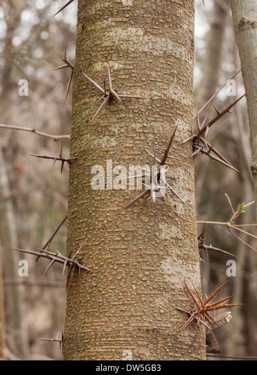 Locust Tree Stock Photos Amp Locust Tree Stock Images Alamy