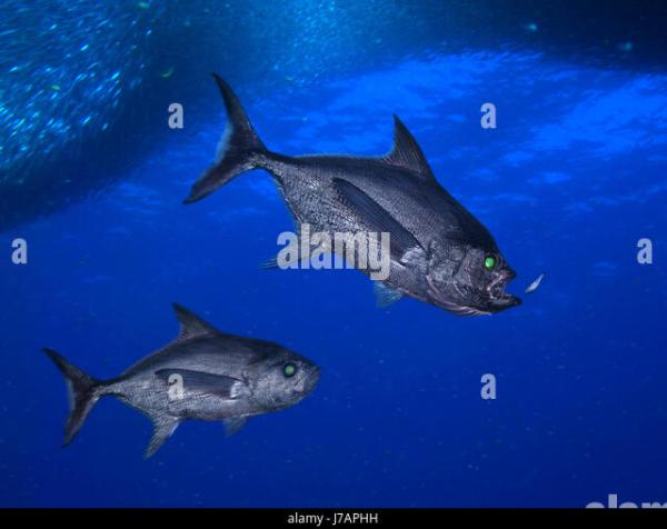 Deep Sea Fish Dark Stock Photos Deep Sea Fish Dark Stock