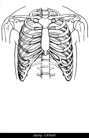 Organs Of The Thorax Stock Photos & Organs Of The Thorax