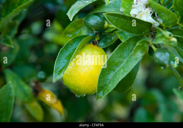 California Fruit Ripening Bowl