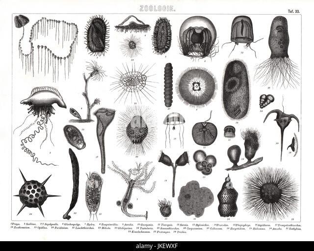 Microscopic Sea Creatures Stock Photos & Microscopic Sea