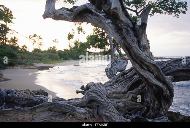 Image result for gnarled tree on coastline