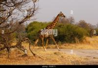 Blotched Giraffe Stock Photos & Blotched Giraffe Stock ...