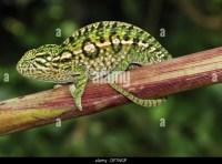 Carpet Chameleon Stock Photos & Carpet Chameleon Stock ...