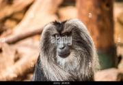 grey monkey stock &