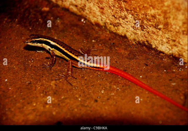 Skink Tail Stock Photos  Skink Tail Stock Images  Alamy