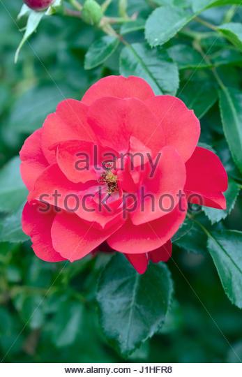 Rose Flower Carpet Stock Photos & Rose Flower Carpet Stock