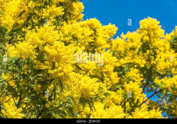 Yellow Flowers Mimosa Tree In Stock Photos Yellow
