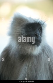 long haired monkey stock