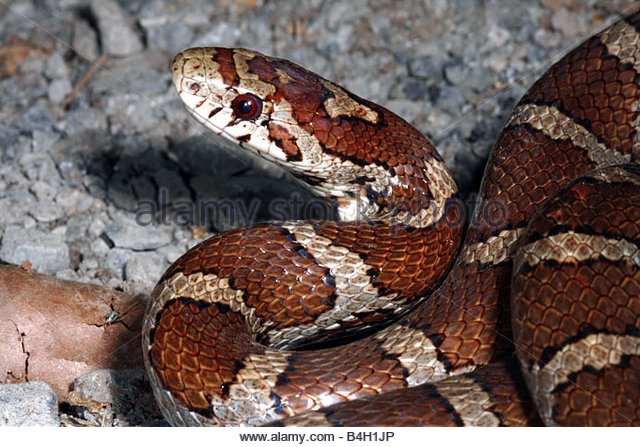 Are Corn Snakes Poisonous