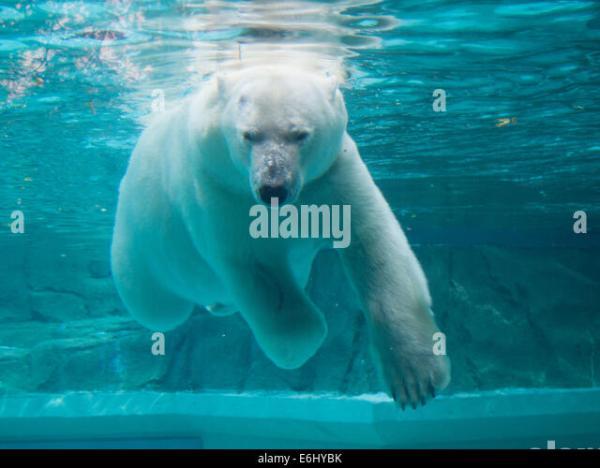 Bear Swimming Stock Photos Bear Swimming Stock Images