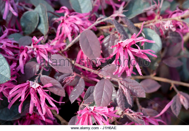 Loropetalum Purple Majesty C