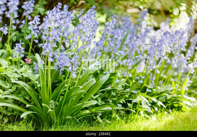 Common Lilac Uk Garden Stock Photos & Common Lilac Uk Garden Stock