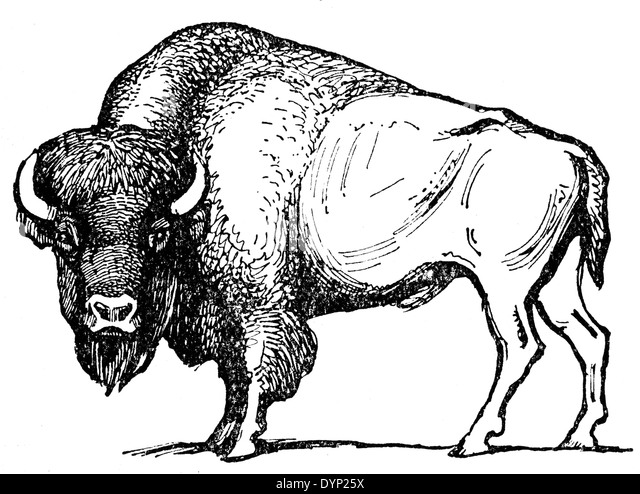 Black White American Bison Bison Stock Photos & Black