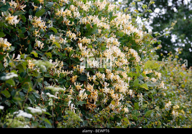 Image result for honeysuckle hedge in bloom pictures