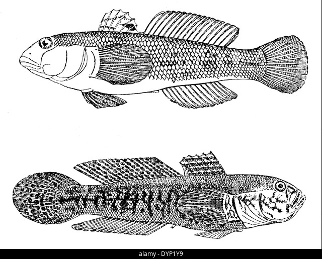 Round Goby Invasive Species Clip Art Sketch Coloring Page