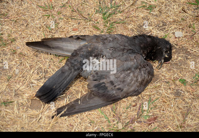 Image result for pigeons fall dead in Valencia, Spain