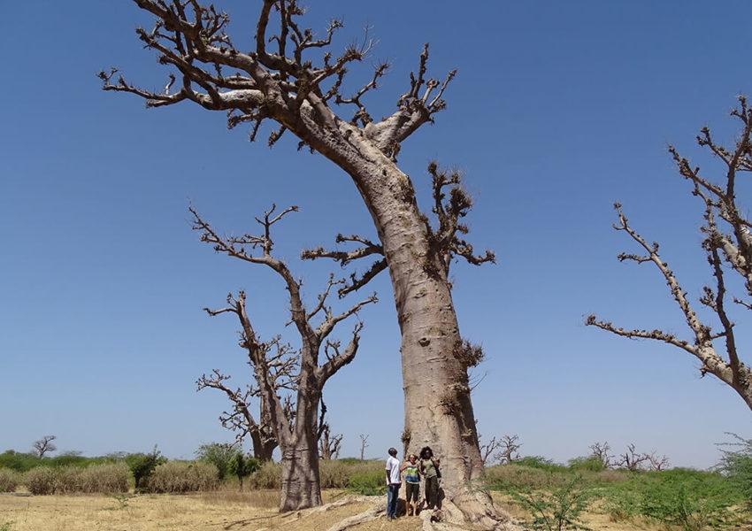 vacances senegal, la boutique de pascaline, voyage senegal, voyage sur mesure, senegal, partir au senegal, aventure au senegal, foret baobabs, excursions senegal, circuit senegal