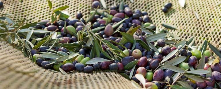 olive Ernaghju camping