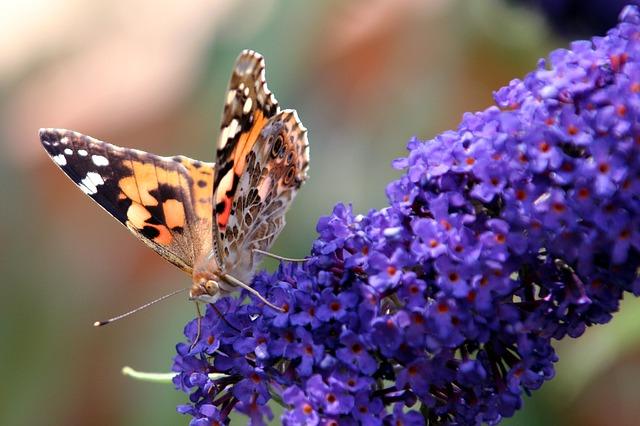 Butterfly BuddlAia Wings Forage  - rycky21 / Pixabay