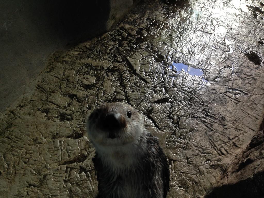 Aqarium of the Pacific Sea Otters