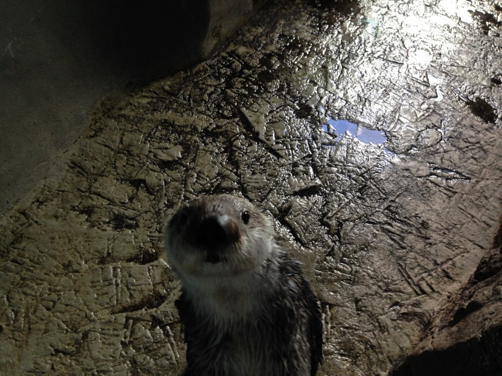 Aqarium of the Pacific Sea Otters
