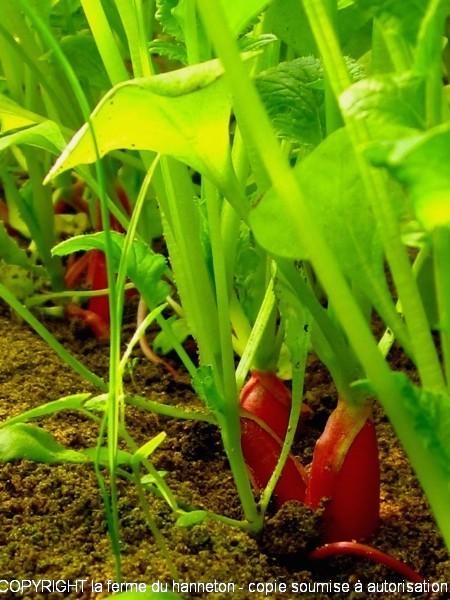 tuto de la fermi re semer ses radis sur son balcon avec les moyens du bord la ferme du hanneton. Black Bedroom Furniture Sets. Home Design Ideas