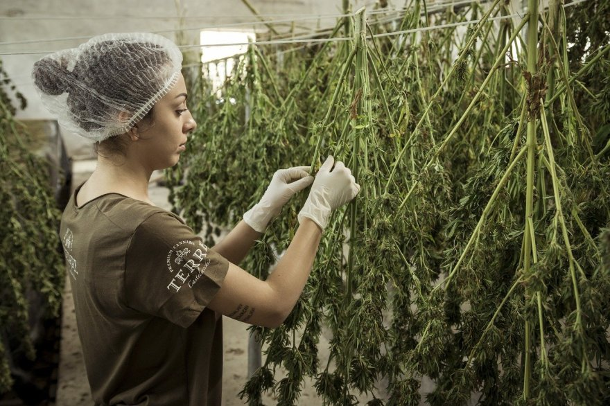 marihuana mariguana canabis