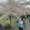 wuhan-festival-cerezos