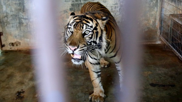 dos tigres dan positivo a covid en indonesia