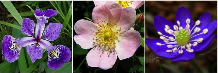 meristemi fibonacci Iris versicolor, 3 petali; Rosa canina, 5 petali; Hepatica nobilis, 8 petali.