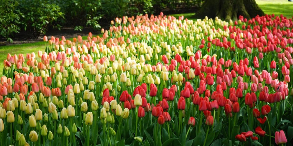 Un Fiore, una Mania e la Bolla dei Tulipani