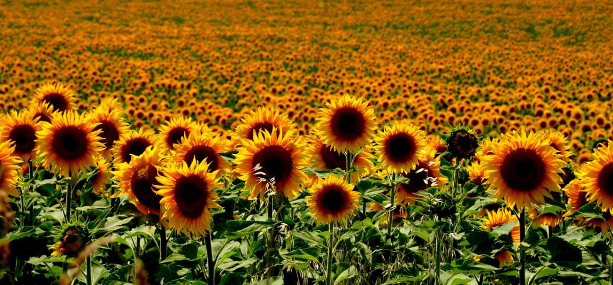 Caldo come il girasole – Come e perché i girasoli seguono il sole