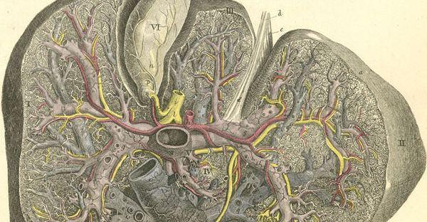 foie et intestins - coupe de foie