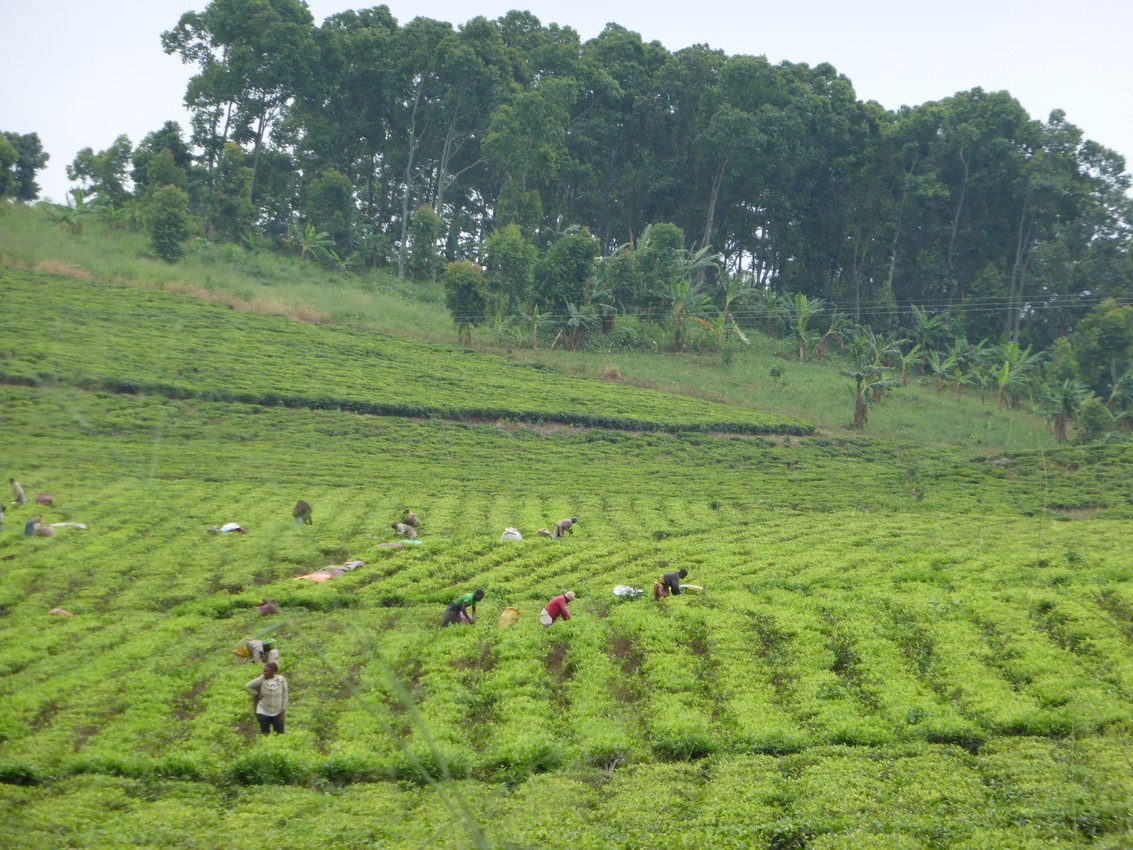 Tea plantation in Buea, Cameroon