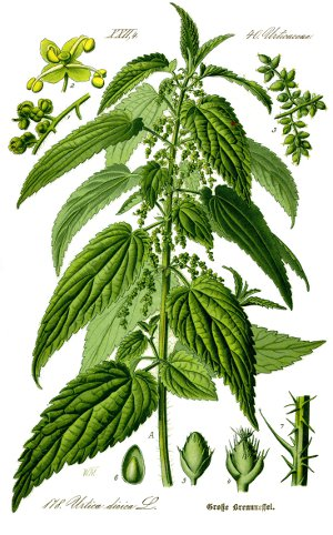 Illustration_Urtica_dioica