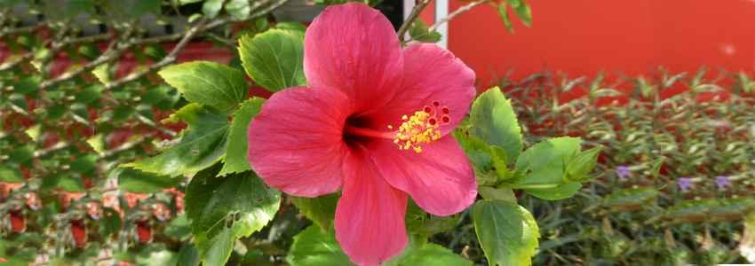 Groseille-pays (ou hibiscus, bissap, karkadé…), cadeau de noël de la nature!