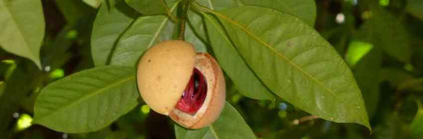 Noix de muscade- fruit du muscadier