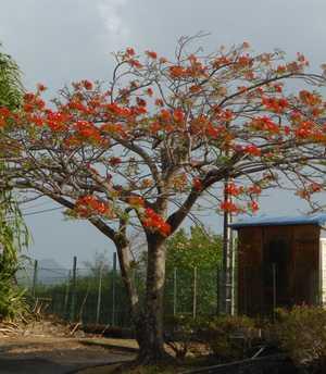 flamboyant-arbre