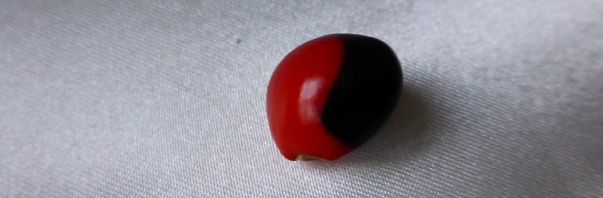 graine-caconnier-ormosia