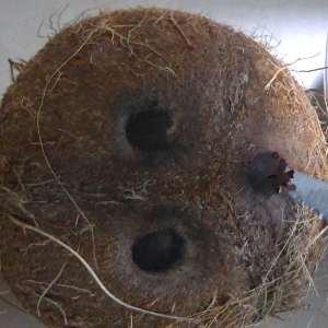 1- Percer un trou dans la noix de coco au niveau d'un oeil (ça perce très facilement avec la pointe d'un couteau pointu)