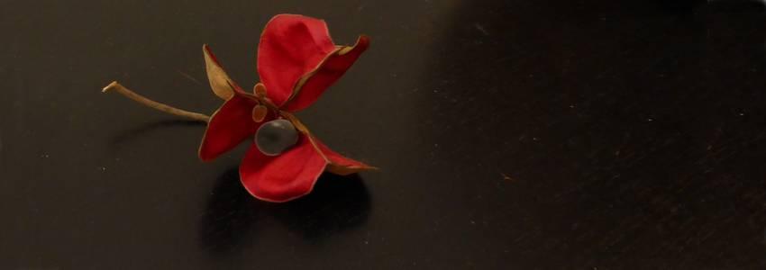 Une perle de velours dans un écrin pourpre… un trésor de Zanzibar (Majidea zanguebarica)