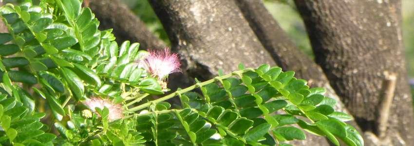 Les mystères du Saman: l'arbre à pluie (Samanea saman)
