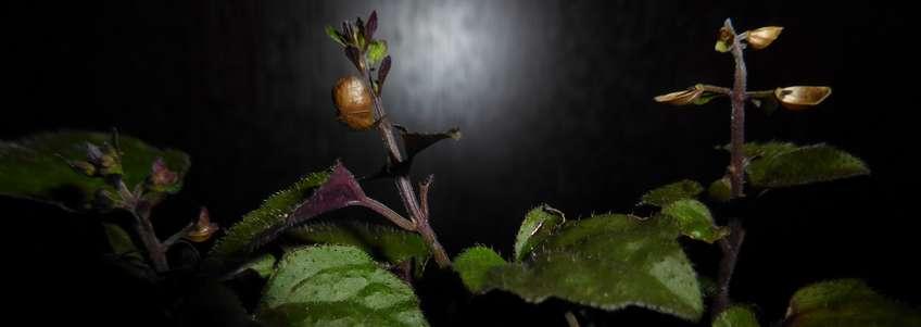 Soulier Zombi: trouvez plante à votre pied! (Scutellaria purpurascens)