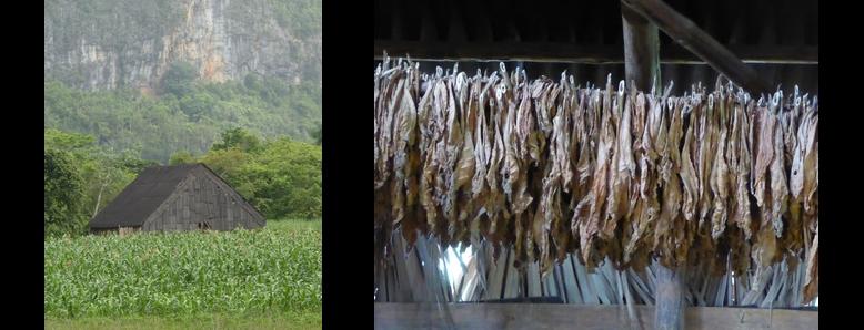Casa del tabaco (séchoir) et feuilles de tabac en train de sécher, Viñales, Cuba