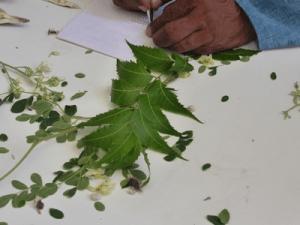azadirachta-indica-neem