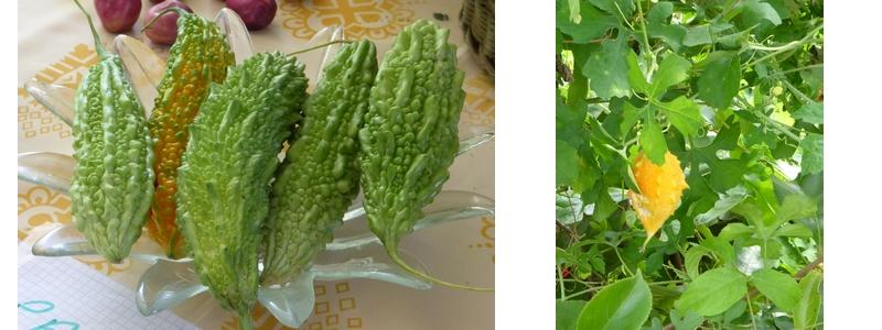 A gauche le paroka cultivé et à droite le paroka photographié à Cuba