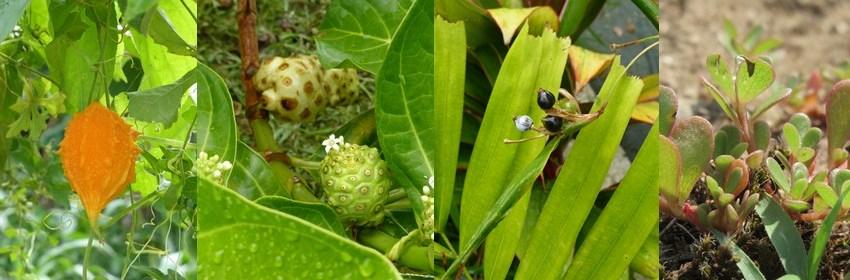 plantes-creoles-diabete